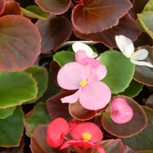 Begonia Fibrous 6 to 8 inch