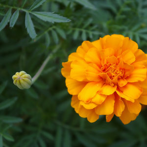 Marigold 10 to 12 inch